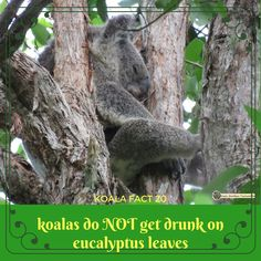 Busting a myth - this is definitely not true! Mist will tell you what is true about koalas if you click and go have fun :) Click And Go, Common Myths, Eucalyptus Leaves, Animal Facts, Byron Bay, Conservation, Mists, Fairy Tales, Have Fun
