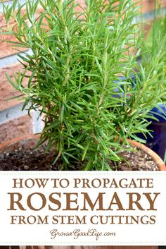 Propagate Rosemary From Stem Cuttings: A Rosemary Stem Cutting Will Reach A Usable Size In Just A Few Months, So You Will Be Able To Harvest Rosemary Sooner. Peruse On To See How To Propagate Rosemary From Stem Cuttings. Prune Rosemary, Vegetable Garden Tips, Harvesting Herbs, Diy Herb Garden, Rosemary Plant, Propagate Rosemary, Planting Herbs, Plants, Gardening Tips