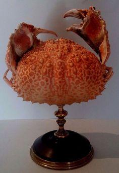 Cabinet de Curiosités Crabe calappa japonica sur socle Crab stand Oddities