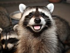 Funny, cute, wonderful animal pictures and videos. Laughing Animals, Smiling Animals, Animals And Pets, Cute Animals, All Animals Pictures, Funny Pictures Images, Animal Pics, I Miss My Cat, Cute Raccoon
