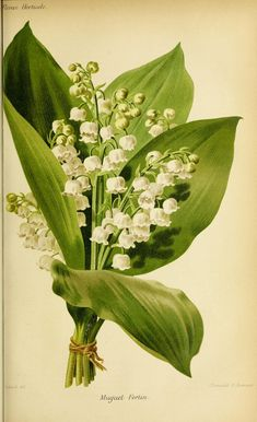 Lily of the valley - returning happiness, trust Vintage Botanical Prints, Botanical Drawings, Botanical Art, Vintage Botanical Illustration, Illustration Botanique, Illustration Art, Illustrations, Image Nature, Rose Images