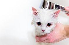 Apple cider Vinegar kills fleas on cats and dogs Flea Shampoo For Cats, Cat Shampoo, Shampoo Bar, Pet Dogs, Dog Cat, Pets, Homemade Dog Shampoo, Teacup Cats, Angora Cats