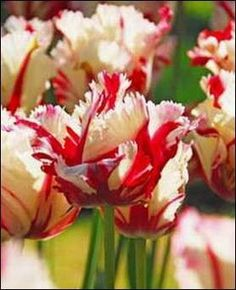 Exotic Tulips to excite your garden,  Easy to Grow Bulbs