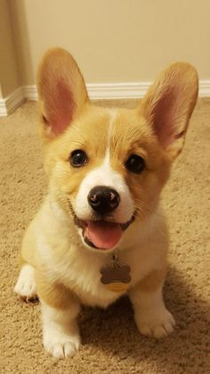That's one happy little corgi pup Cute Dogs And Puppies, Pet Dogs, Dog Cat, Corgi Dog Breed, Dog Breeds, Corgi Puppies, Cute Baby Animals, Funny Animals, Fur Babies