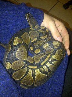 My lap snake likes cuddles. Python Royal, Lizards, Snakes, Animals Beautiful, Cute Animals, Python Regius, Super Snake, Snake Patterns, Ball Python