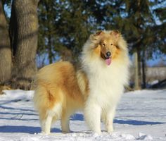 scotch collie dog photo | Scotch Collie - Information, pictures and videos | DBS