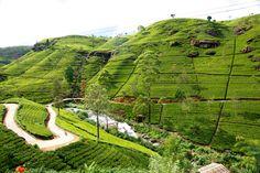 Rolling tea estates of Nuwara Eliya, Sri Lanka
