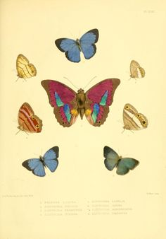 Lepidoptera exotica, or, Descriptions and illustrations, 1869-1874 / - Biodiversity Heritage Library