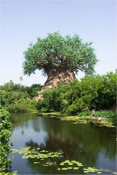 Carved Baobub tree ~ Limpopo, Mozambique, Southeast Africa....