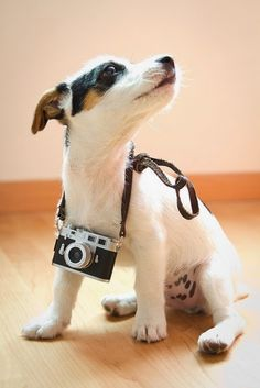 Cute Jack Russell Terrier Puppy | Cute puppy and dog #animal