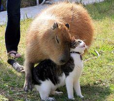 カピパラとネコ