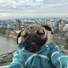 101 Best Doug The Pug Pictures - meowlogy Cute Pug Puppies, Cute Dogs, Dogs And Puppies, Doug The Pug, Silly Dogs, Funny Dogs, Cute Funny Animals, Cute Baby Animals, Shih Tzu Hund