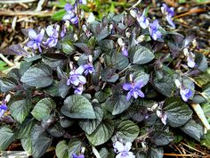 Labrador violet, alpine violet This violet is native to moist woods in the northern United States, Canada and Greenland. It will be perfectly happy to grow in your shade garden (perennial zones 3-8) Slugs decimate all my other violets, but for some reason leave this one alone.