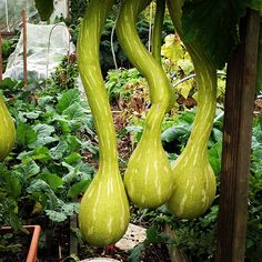 Gourds hanging from my neighbours allotment patch