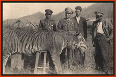 Caspian Tiger: extinct circa 1970,  together with the Siberian and Bengal tiger subspecies represented the largest living felid and ranked among the biggest felids that ever existed.