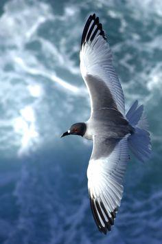 Mouette rieuse qui a pris son envol, elle voulait voler de ses propres ailes car il faut s'en aller quand il faut
