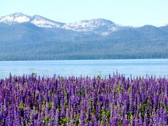 Lake Tahoe California | Lake Tahoe, CA : Lupine in July, North Shore in Tahoe City, lake Tahoe