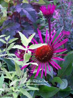 TheColourGarden / Echinacea 'burgundy fireworks', Caryopteris and Ninebark 'coppertina'