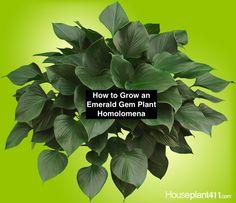 Emerald Gem Plant - How to Grow Care -Homalomena Emerald Gem, Plant Diseases, Plant Identification, Office Plants, Indoor Plants, Indoor Gardening, Green Plants, Plant Care, Amazing Flowers