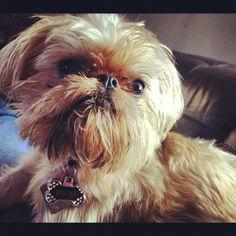 My sweet lovebug of a dog Bronx. I love Brussels Griffons.