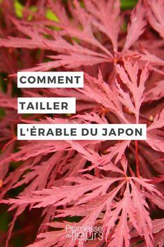 Tout savoir sur la taille de l'érable du japon, en bonsaï, niwaki ou taille d'entretien #jardin #bonsaï #niwaki