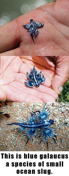 "Blue Dragon Galaucus: They feed on the poisonous Man of War Jellyfish, collecting the animal's toxins and storing them in little sacs on the end of their feather-like ""fingers."" The Blue Dragon can produce a much more powerful and deadly sting than the Man of War due to its ability to store the poison.  ** They float on top of the ocean on their backs."