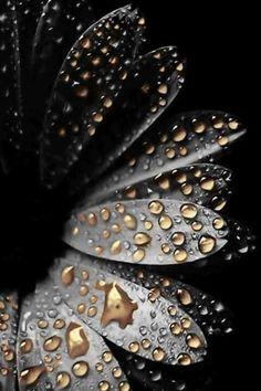 Black, flower, gold drops of rain