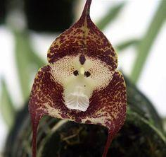 Também conhecida como a orquídea macaco ou macaco cara orquídea, esta flor bizarro tem uma estranha semelhança com o rosto de um babuíno. Uma espécie rara, o simia Dracula é encontrado nas florestas da nuvem do sudeste do Equador e Peru.