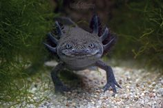 """White Wolf: Meet Axolotl (Ambystoma mexicanum) """"the Happiest Animal in the World"""""""