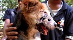 Animal Aid Unlimited's rescue team responded to an emergency call for a dog whose face was riddled with deep holes that were infested with flesh-eating maggo. Rescue Dogs, Animal Rescue, Animals And Pets, Cute Animals, Human Kindness, Poor Dog, Dog Safety, Beautiful Creatures, Funny Dogs