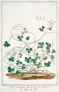 Giorgio Bonelli  Subterranean Clover  1772-93.                                                        Happy St Patricks Day.......