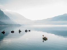 A swan floats on the Bay of Kotor in Montenegro in this National Geographic Photo of the Day.