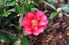 Dwarf Shishi Camellia. Hardy to zone 7. Saw one in bloom in my neighbor's garden in December. Very pretty. Sazanka - The Flower of Autumn Sun