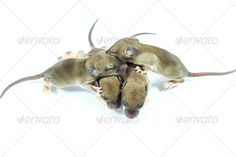 Realistic Graphic DOWNLOAD (.ai, .psd) :: http://jquery.re/pinterest-itmid-1006922655i.html ... small rodents (baby  rat) ...  animal, asia, biceps, born, closeup, details, eye, eyes, green, head, light, look, macro, nature, new, open, rat, reptile, rodents baby, skin, small, species, thai, thailand, time, tree, tropical, wild, wildlife  ... Realistic Photo Graphic Print Obejct Business Web Elements Illustration Design Templates ... DOWNLOAD…