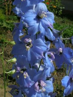 Delphinium elatum - larkspur elevated