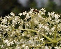 Σαμπούκος ο μέλας – Sambucus nigra