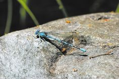 Legislature selects Vivid Dancer Damselfly as state insect #nv150 #nevada