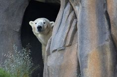 The zoo unveils its new polar bear and Arctic Tundra exhibit to the public at 10 a.m. Thursday.
