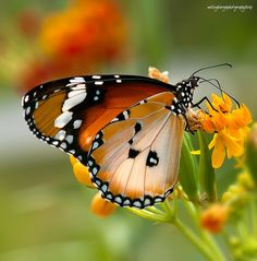 """""""Nature's Message was Always There and for us to see. It was Written on the Wings of the Butterflies."""" ~ Kjell B. Sandved"""