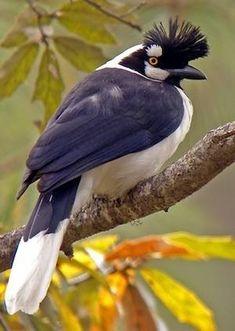 Tufted Jay