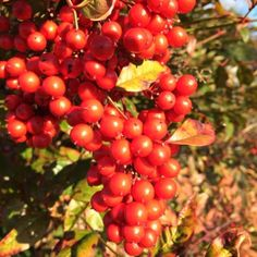 Red berries from Nandina domestica  at Lewis Ginter Botanical Garden | Flickr - Photo Sharing!