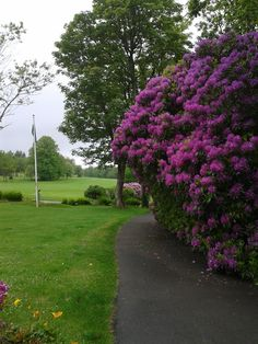 Rhododendrons at Priskilly