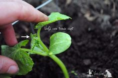 Cultivarea castravetilor si ciupirea lor - magazinul de acasă Sprouts, Fruit, Vegetables, Garden, Solar, Urban, Plants, Vegetable Garden, Gardens