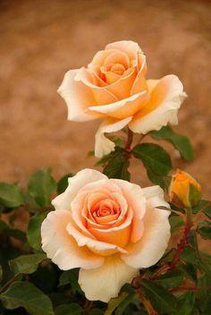 Beautiful Peach Colored Rose!!! Bebe'!!! So pretty!!!
