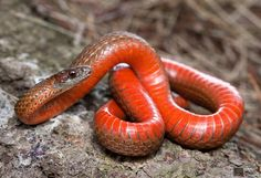 Northern Red-bellied Snake   Flickr - Photo Sharing!