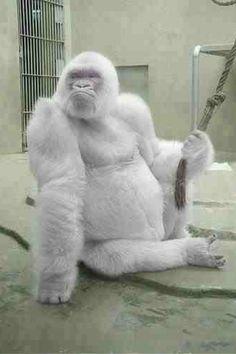 Albino Gorilla.....