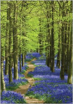 Card Ranges » 6993 » Path through Bluebell Wood - Abacus Cards - Greetings Cards, Gift Wrap & Stationery