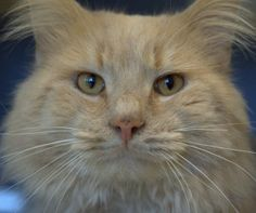 THE CAT is an adoptable Domestic Long Hair Cat in Boston, MA. The Cat A280246 Buff Tabby DLH Male 3Years Arrival Date: 05/30/13 I came to the MSPCA because: I was found hanging around Jamaica Plain an...