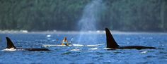Kayaking with Orcas - Killer Whales