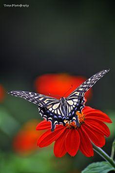 ✯ Swallowtail